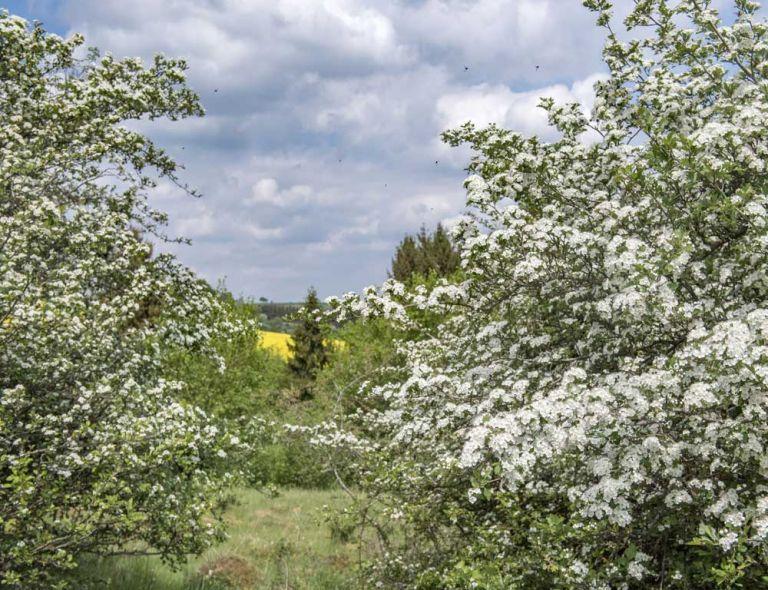 Blühende Hecken und Feldgehölze