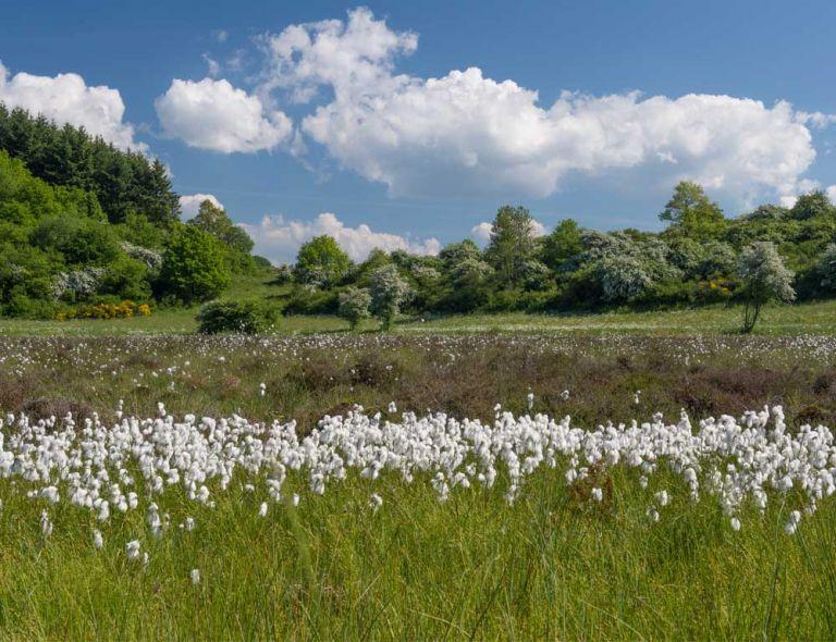 Wollgrasblüte am Strohner Määrchen © Natur- und Geopark Vulkaneifel GmbH, Kappest