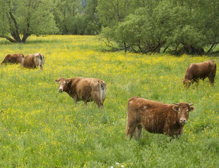 Rinder auf Weidenwiese